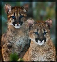 Cougar Cubs by miezbiez