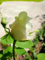 Little White Rose Bud by L-Ashley17