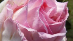 Pink Rose by NaturalBeauty-Photos