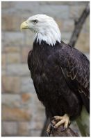 Bald Eagle IV by DysfunctionalKid