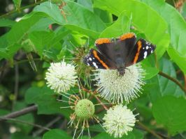 Red Admiral Butterfly on Buttonbush 11 by Windthin