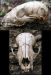 S.S. animal skull by shudder-stock