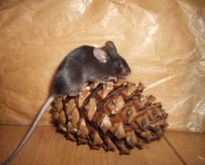 Mis ratones Arya_with_pine_cone_by_Kelvariel_Mice