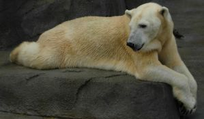 709 - polar bear by WolfC-Stock