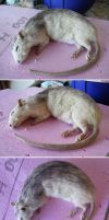 WIP Rat lifesize mount by DeerfishTaxidermy