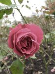 Scottish Rose II by figment1990