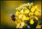 Busy Bee by AndreasResch