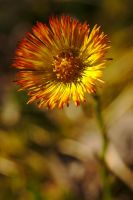 Tussilago #3 by perost