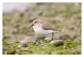 Dunlin by Neutron2K
