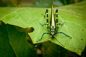 Two Toned Grasshopper by Dilznacka