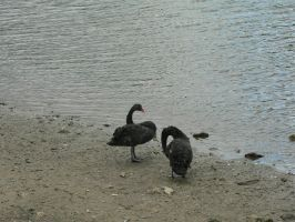 black swans by Mysteriouspizza