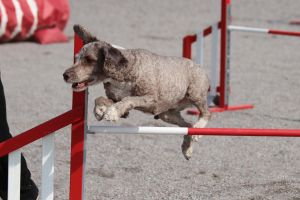 Agility: Spanish Water Dog by furbyprince