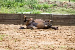 KM Old TB laying rolling by Chunga-Stock