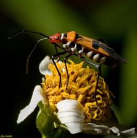 Cotton-Stainer Bug by biawak