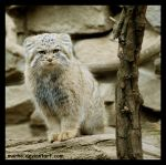 manul, the supermodel by morho