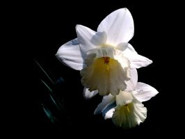 narcissus by q3ani