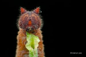 Mycalesis gotama. Hello Kitty-Faced caterpillar. by melvynyeo