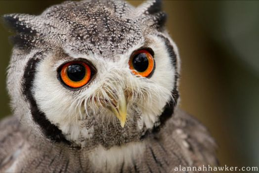 White faced Owl by Alannah-Hawker