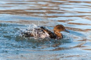 Washing duck by AndreaMetallurgico