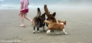 Corgi playday at the beach by DreamEyce