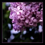 Lilacs and Lemonade by TeaPhotography