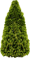 Pine Tree PNG by dbszabo1