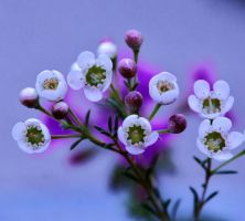 Tiny White Flowers by photoquilter