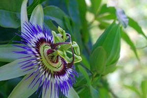 Passiflora by luisharding