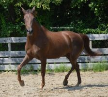 Liver Chestnut morgan higher stepping trot by equustock