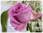 Rose and drops 1 by FrancescaDelfino