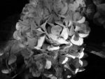 worn out blossoms by scalliope