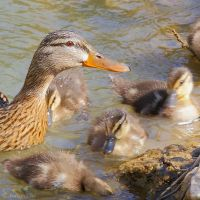 Duck and ducklings by Jorapache