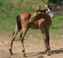 Warmblood Colt 3 .:Stock:. by Photopolis