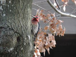 Red-headed Woodpecker by Mathayis