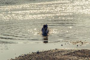 Springer Spaniel in Water by dannypyle