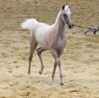 STOCK - Partbred Arabian 34 by fillyrox