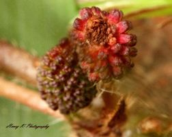 Touch-me-not-in-bloom by fotoponono