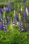 A Lot Of Lupins by Grandmagoingnuts