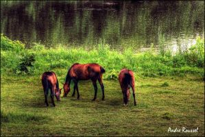 Horses-HDR by bellocqa