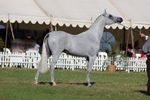 TW Arab whitegrey stand side view head up by Chunga-Stock