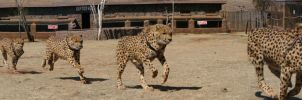 Running Cheetah by Gio-Toldo