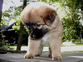 Ginger the giant head puppy by darchiel