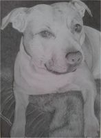 Staffordshire Bull Terrier commission by megh95