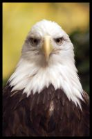 Bald Eagle 1 by Quok1mb0