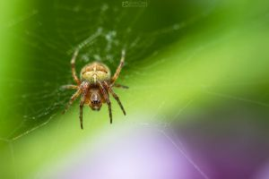 Macro Little Spider by aleexdee