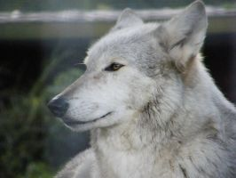 Wolf Portrait Stock 20 by Clickitysnip-Stock
