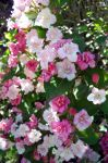 Spring Pinks 15 by WalnutHill