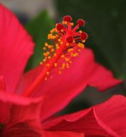 Hibiscus by Nusio21
