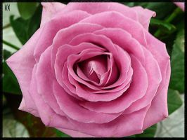 Pink 2 by iva-is-me