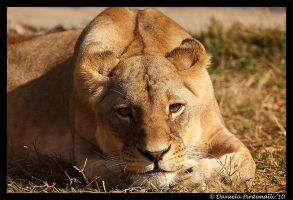 Lioness Portrait by TVD-Photography